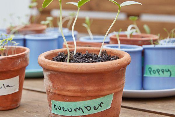 cucumber seedlings in a pot