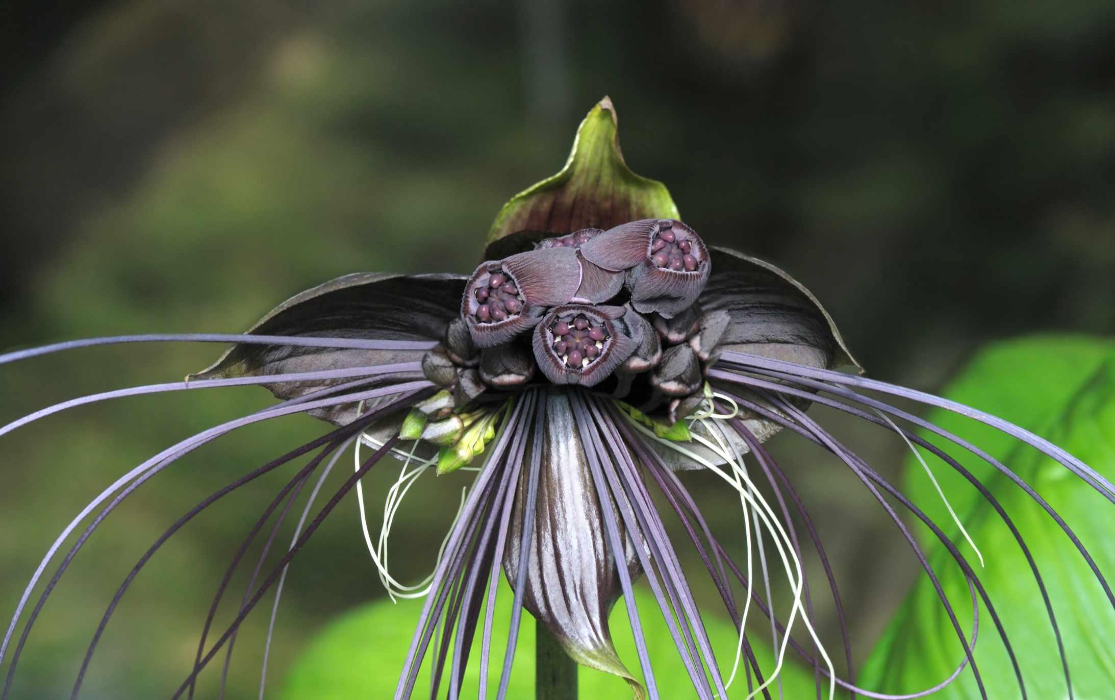 Bat Flower closeup