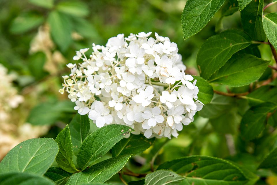 Bobo hydrangea shrub with small white flower panicles clustered together and surrounded by oval leaves