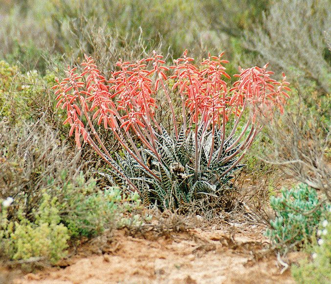 Salmon colored flowers on variegated succulent in desert landscape
