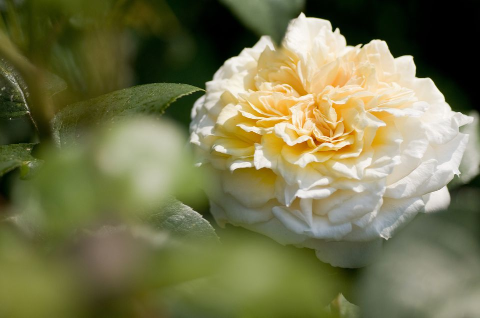 Lush English Roses for Your Garden