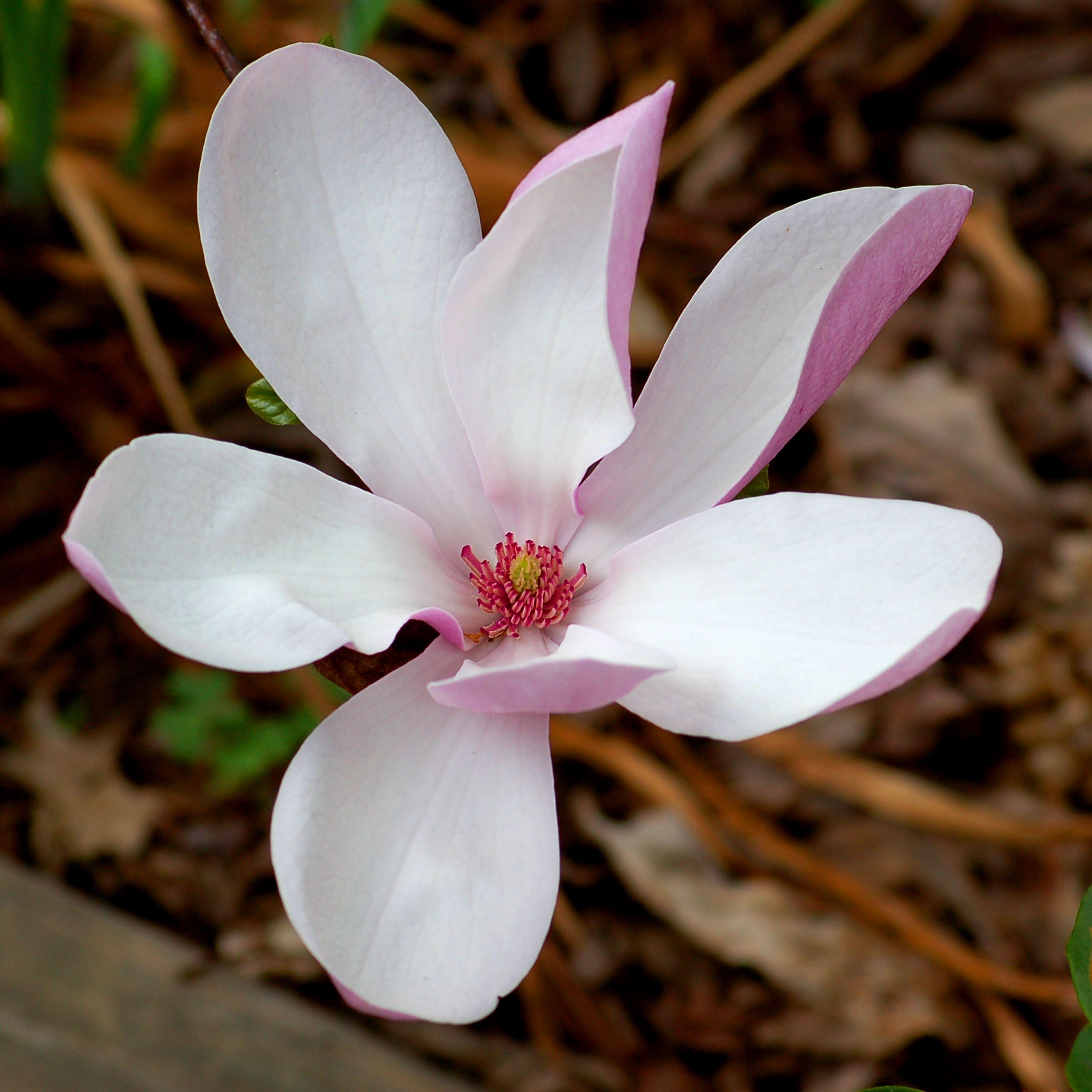 Magnolia Jane Plant Profile