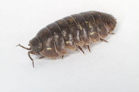Image result for pill bugs
