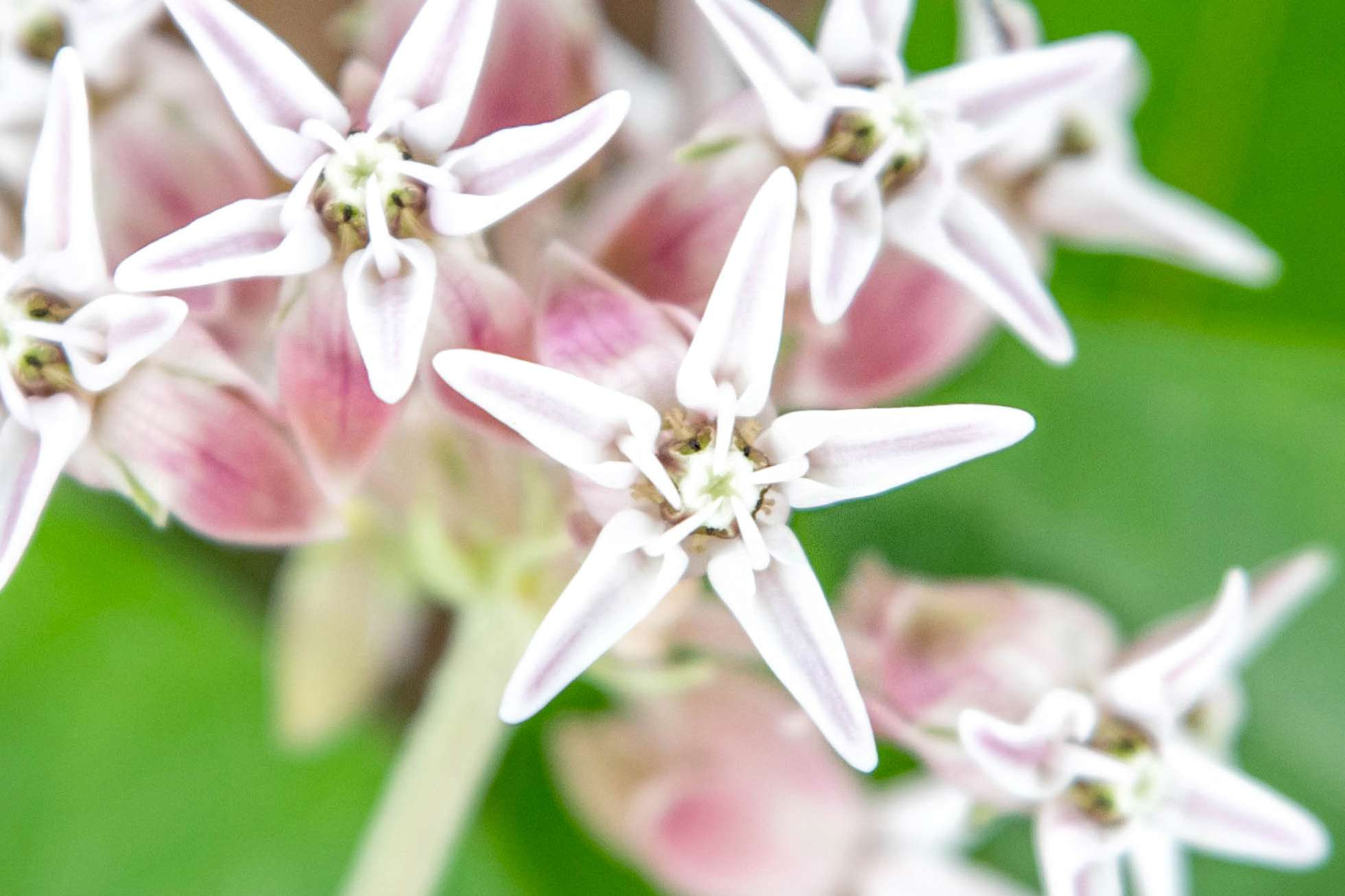 Showy milkweed with white star-shaped flowers clustered together closeup