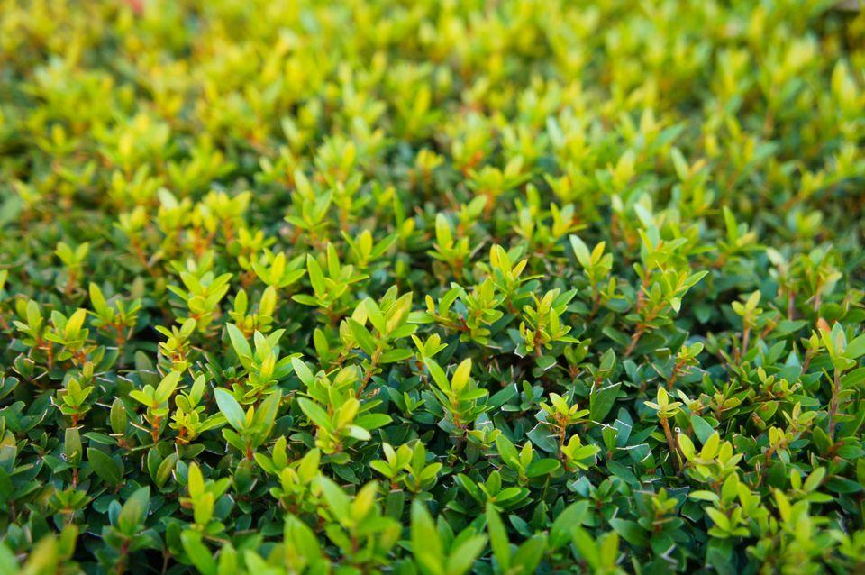 Green leaves of the shrub 'Myrtus communis' tarentina or common myrtle