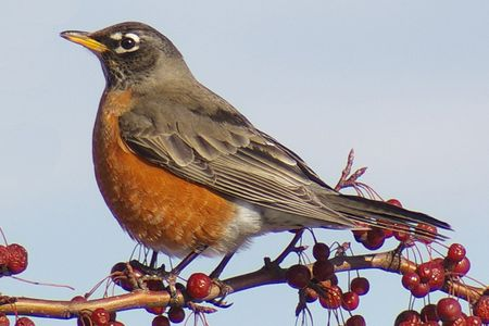 American Robin - Most Common Backyard Birds