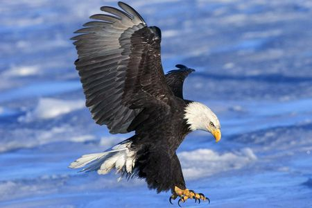 Eagles Are Also A Danger To Each Other Particularly When Territory Is In Dispute Mid Air Battles Can Be Vicious Quite Often Two Will Lock