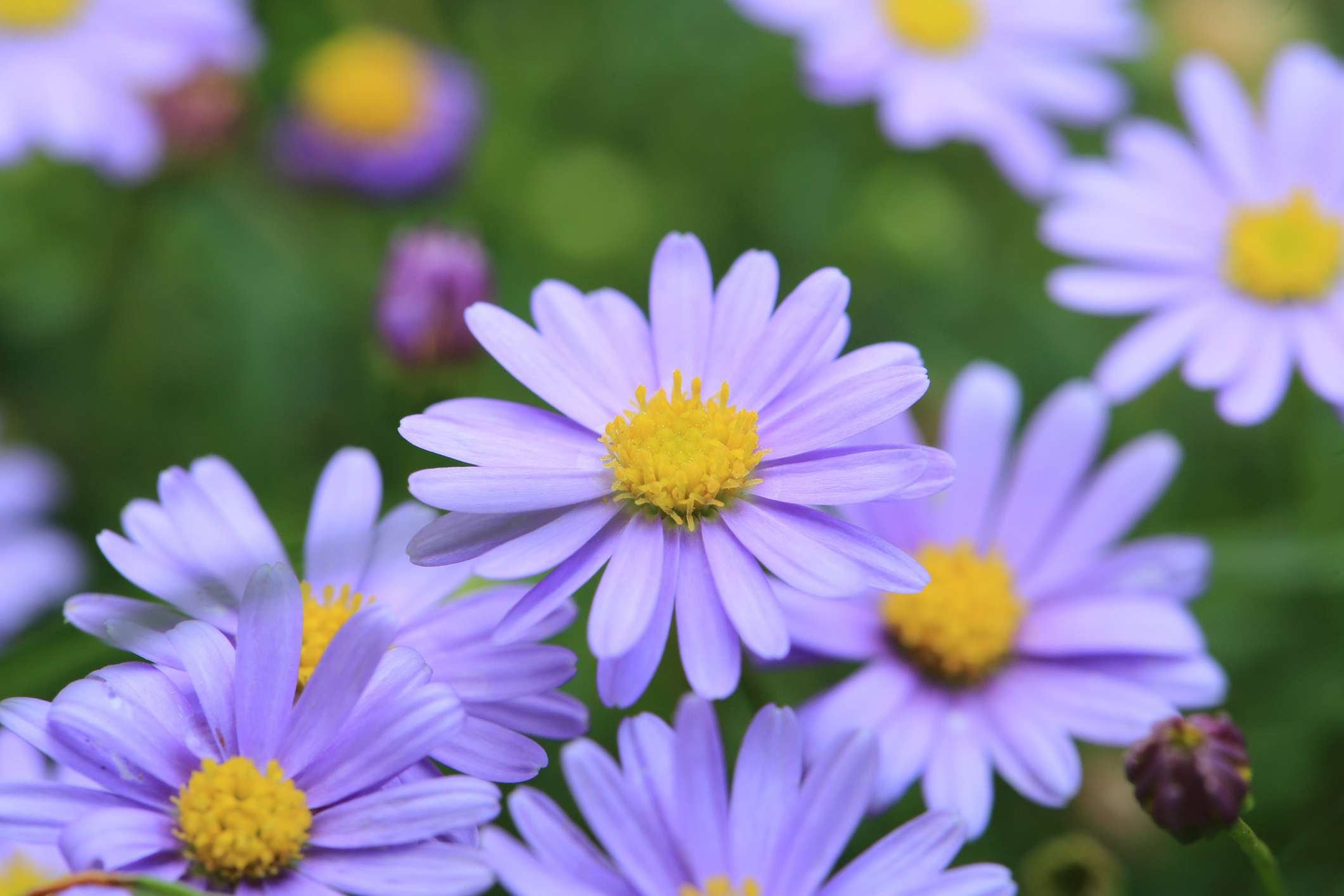 Swan River daisies with lavender petals and yellow centers