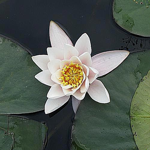 imagen de jardinería de la suculenta, echeveria pulvinata