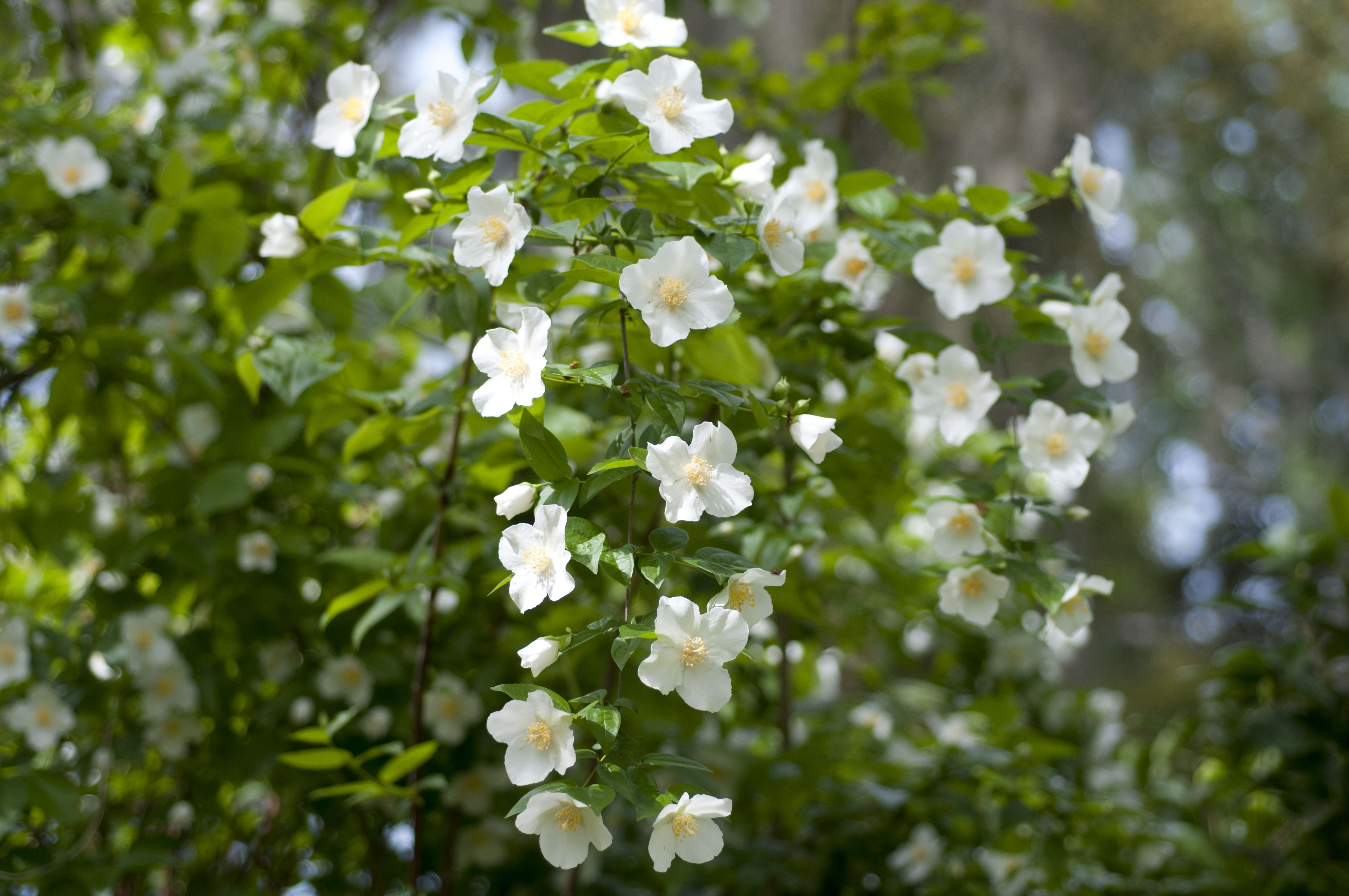 How To Grow And Care For Mock Orange Shrubs