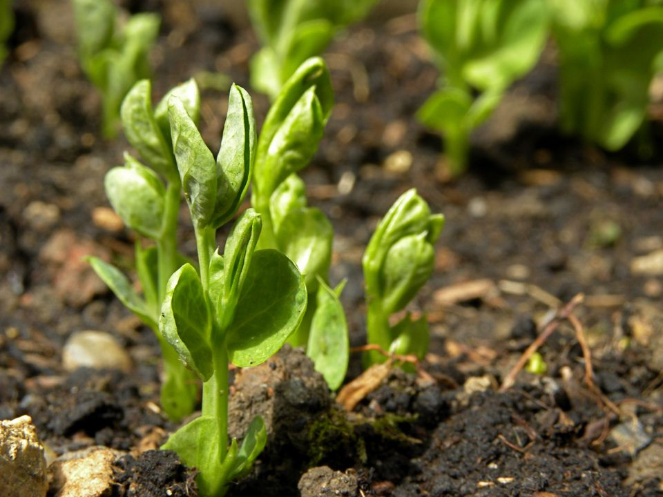 Pea plant in a garden.
