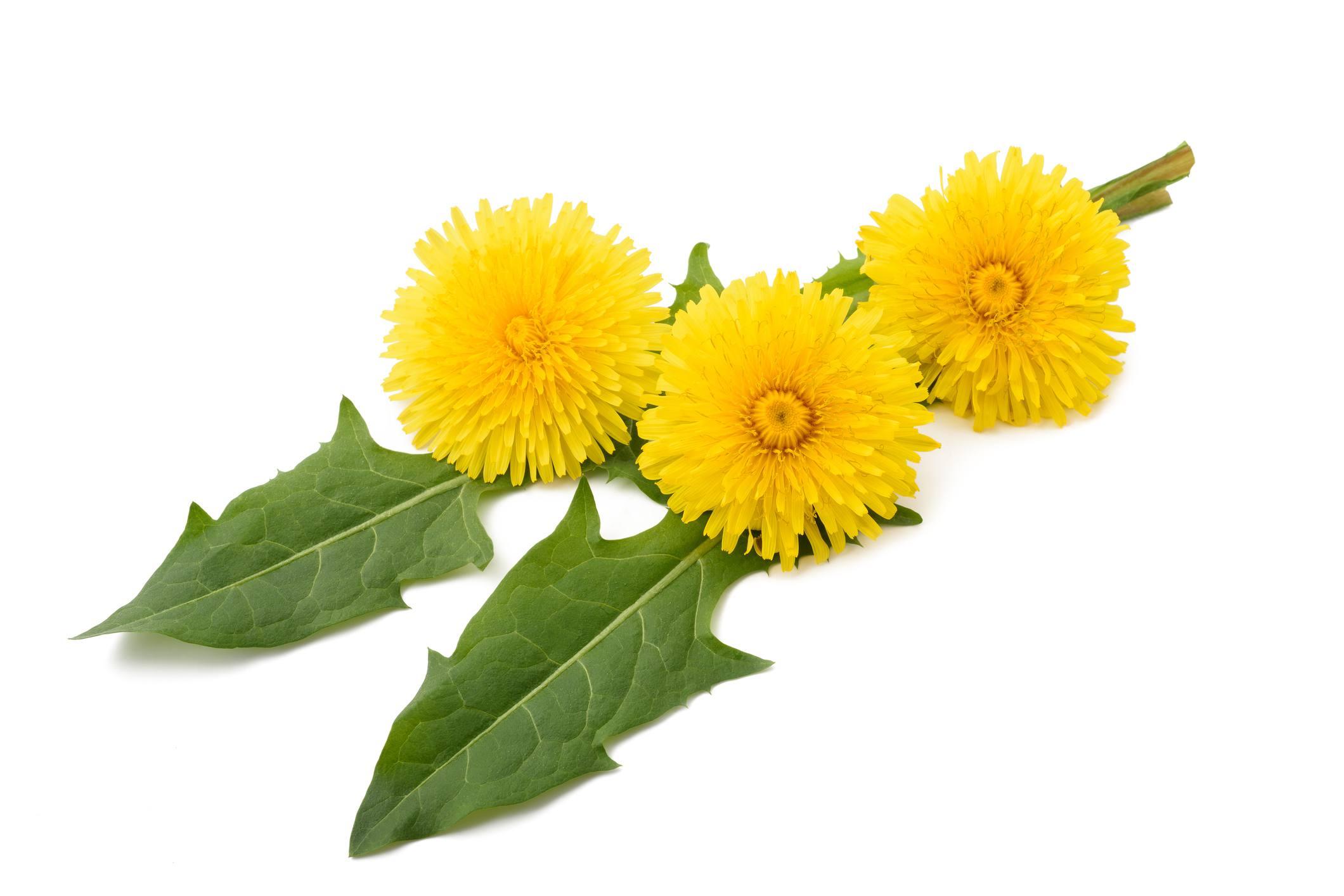 Flores y hojas de diente de león recogidas