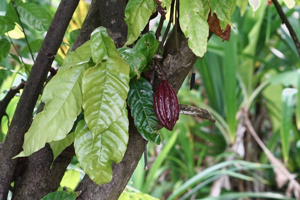 Cacao tree with light green and dark green leaves with cacao been in middle