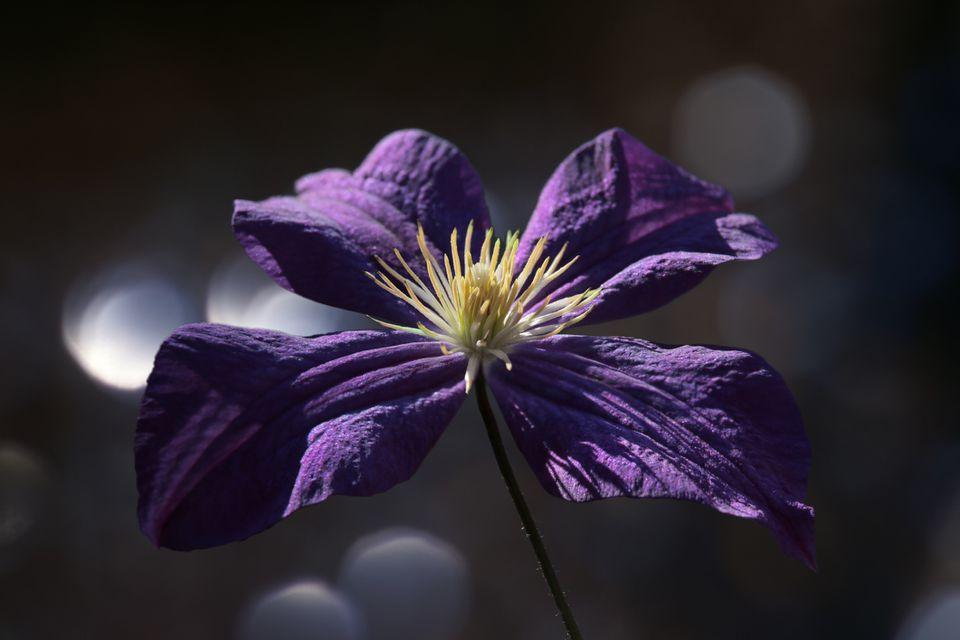 Jackman clematis flower closeup.