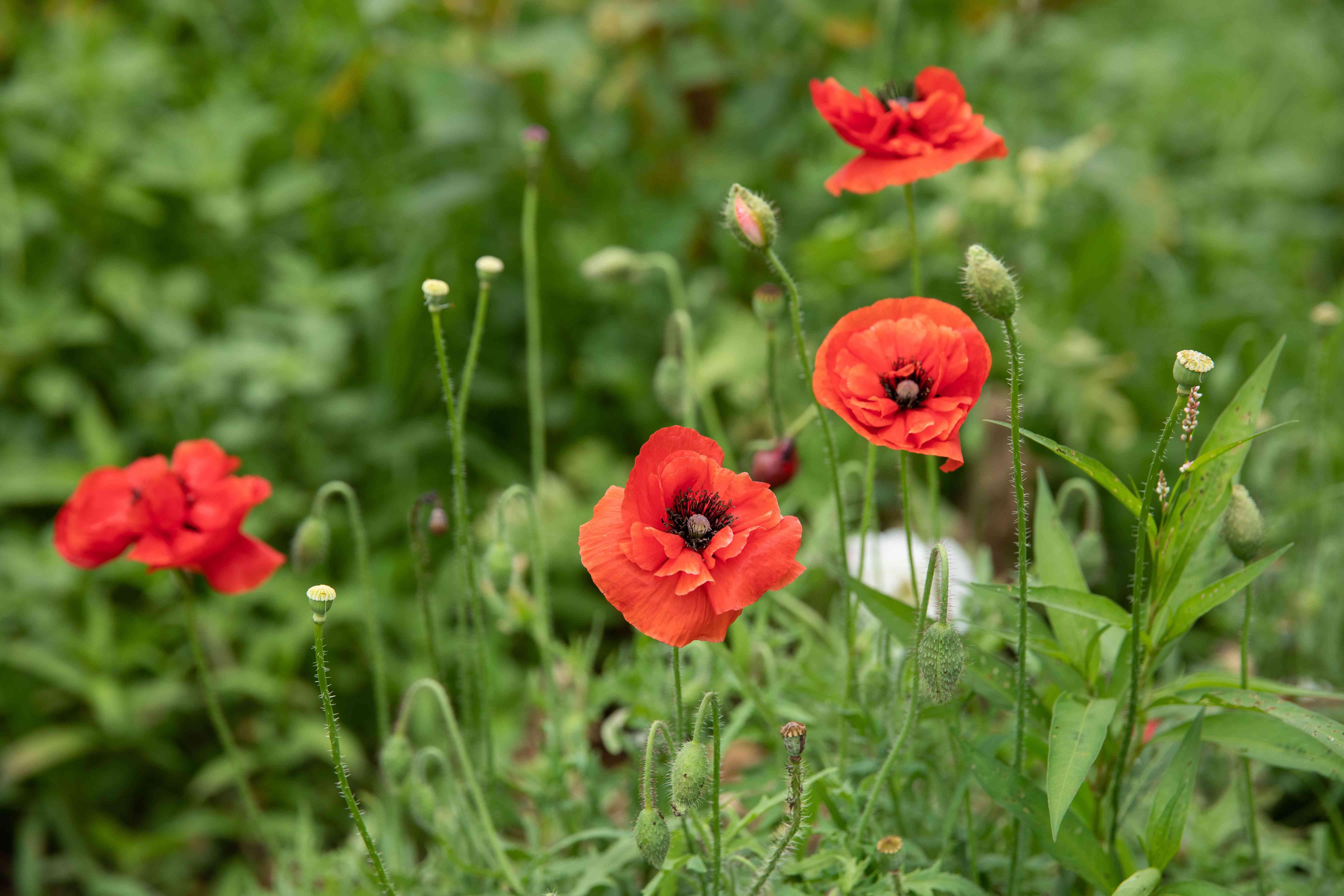 Oriental poppy flowers with round bright orange colored petals in garden