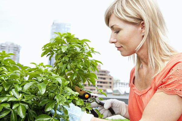 woman trimming plant with shears