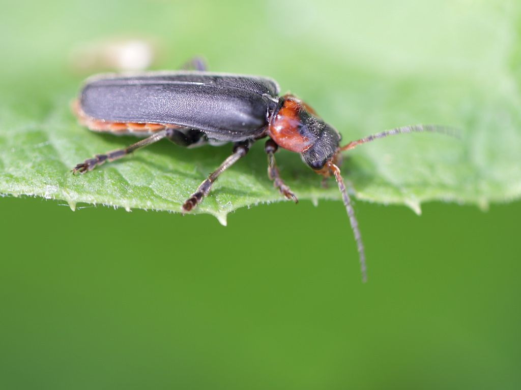 Soldier Beetle Cantharis fusca (Cantharidae)