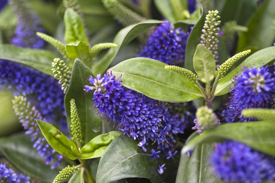 Hebe shrub with spiked blooms of purple flowers and green spikes between leaves