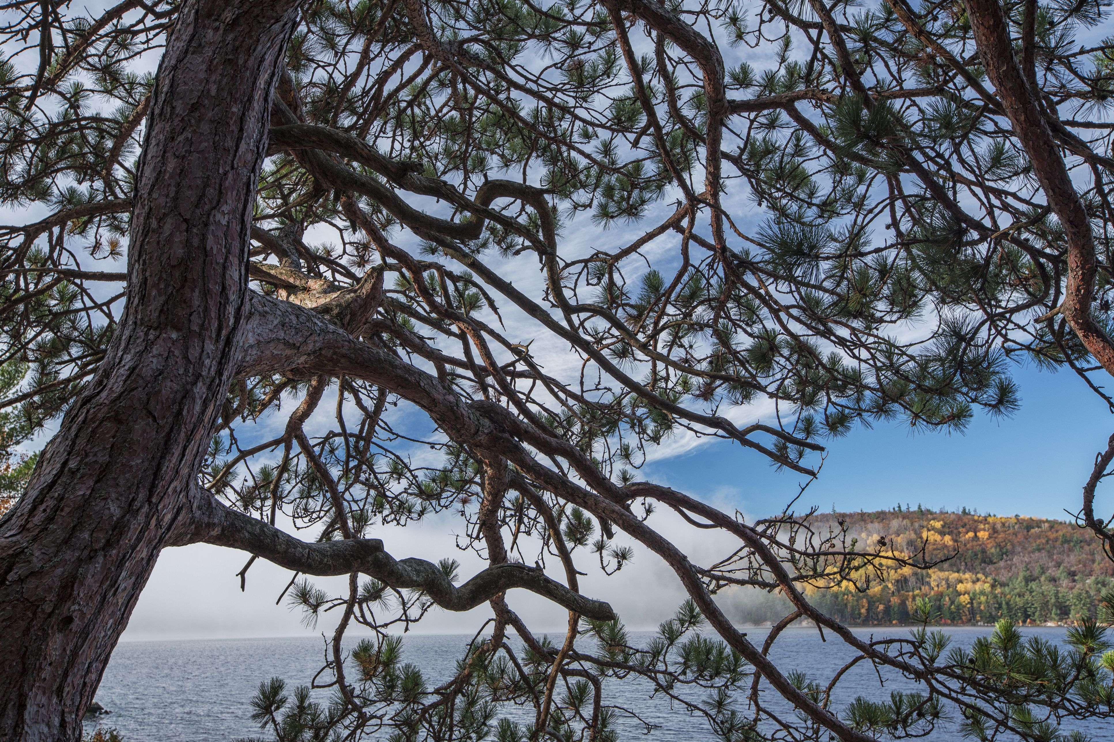 Grand Lake can be seen through a jack pine tree as the fog lifts off the lake in the early moring hours in Algonquin Park, Ontario.