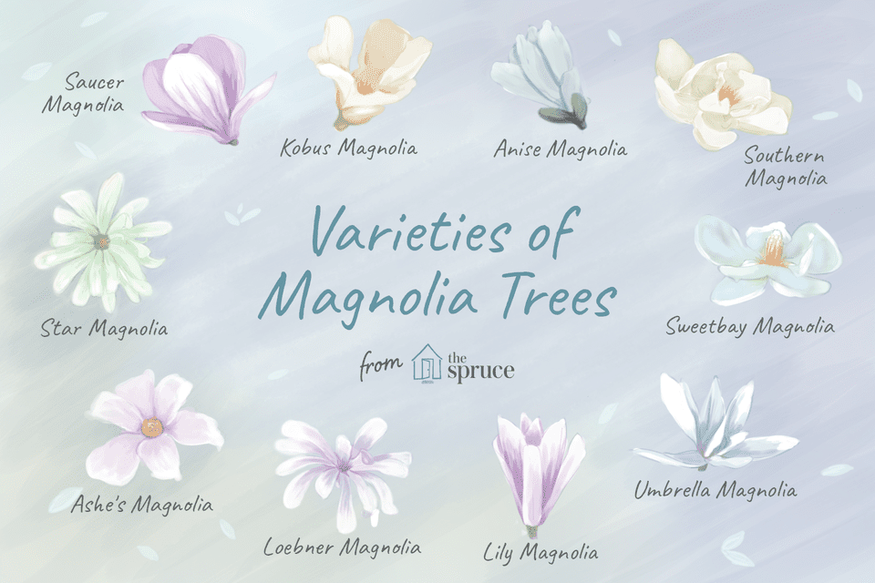 Varieties of magnolia trees