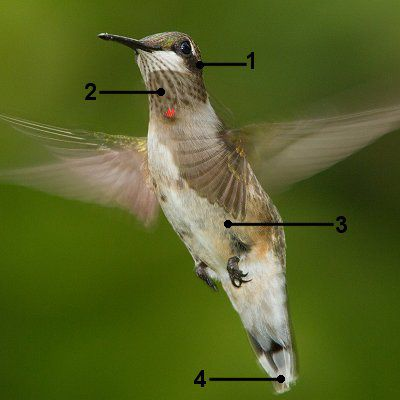 Identify A Juvenile Male Ruby Throated Hummingbird