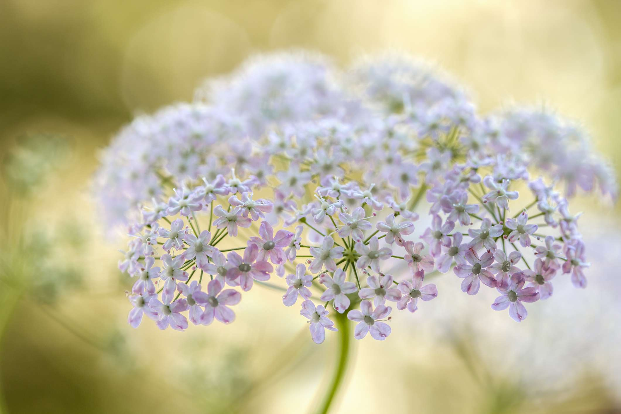 Close up of Queen Anne's Lace flower