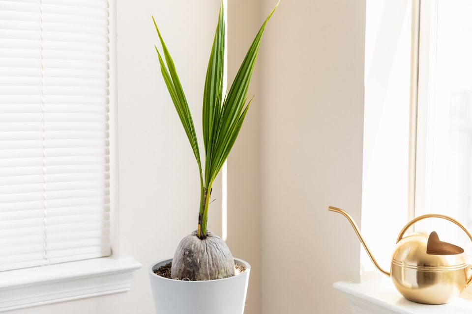 Coconut pal growing from coconut in white pot next to gold watering can on window sill