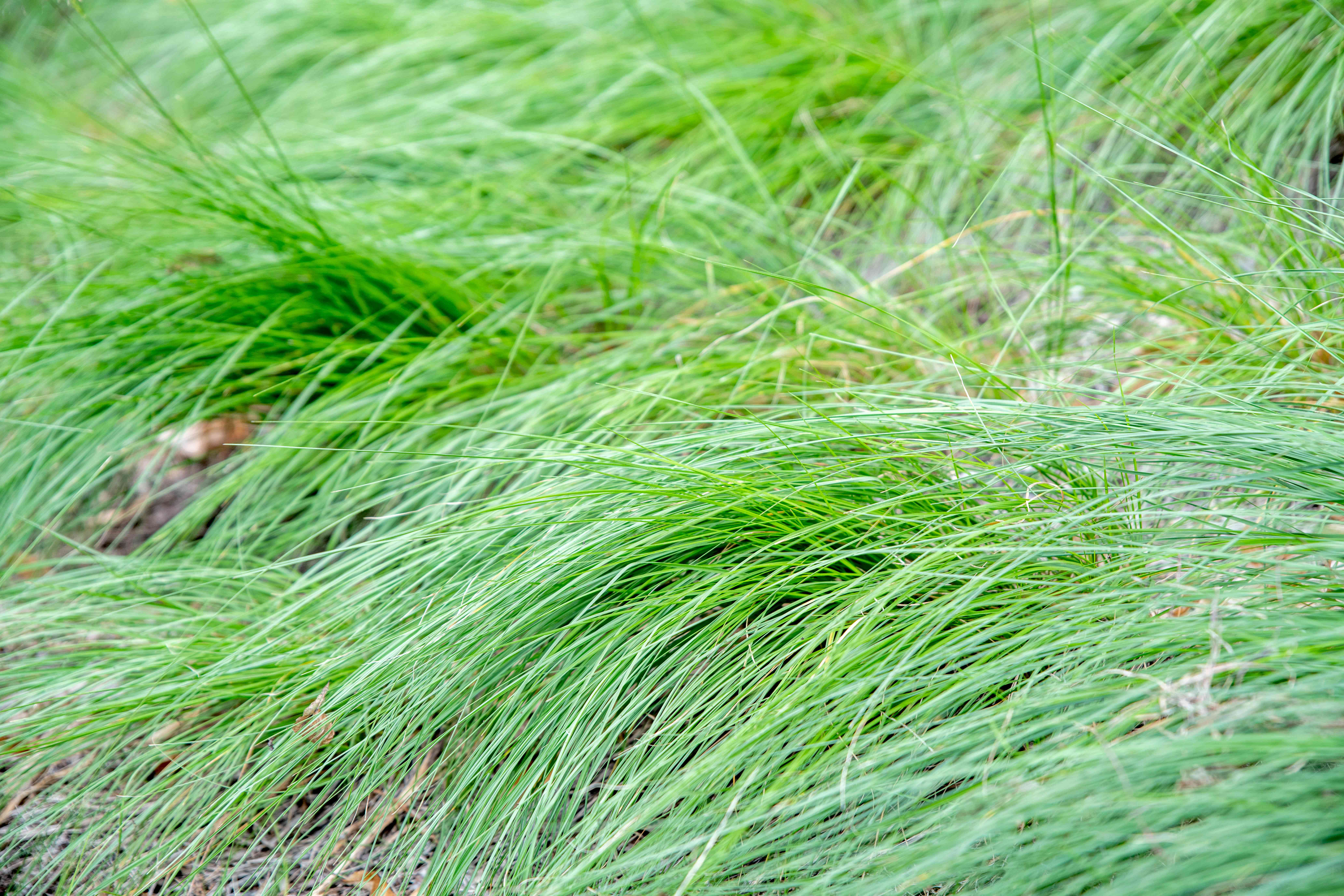 Praire dropseed grass with thin glossy-green blades in dense tufts arching to ground