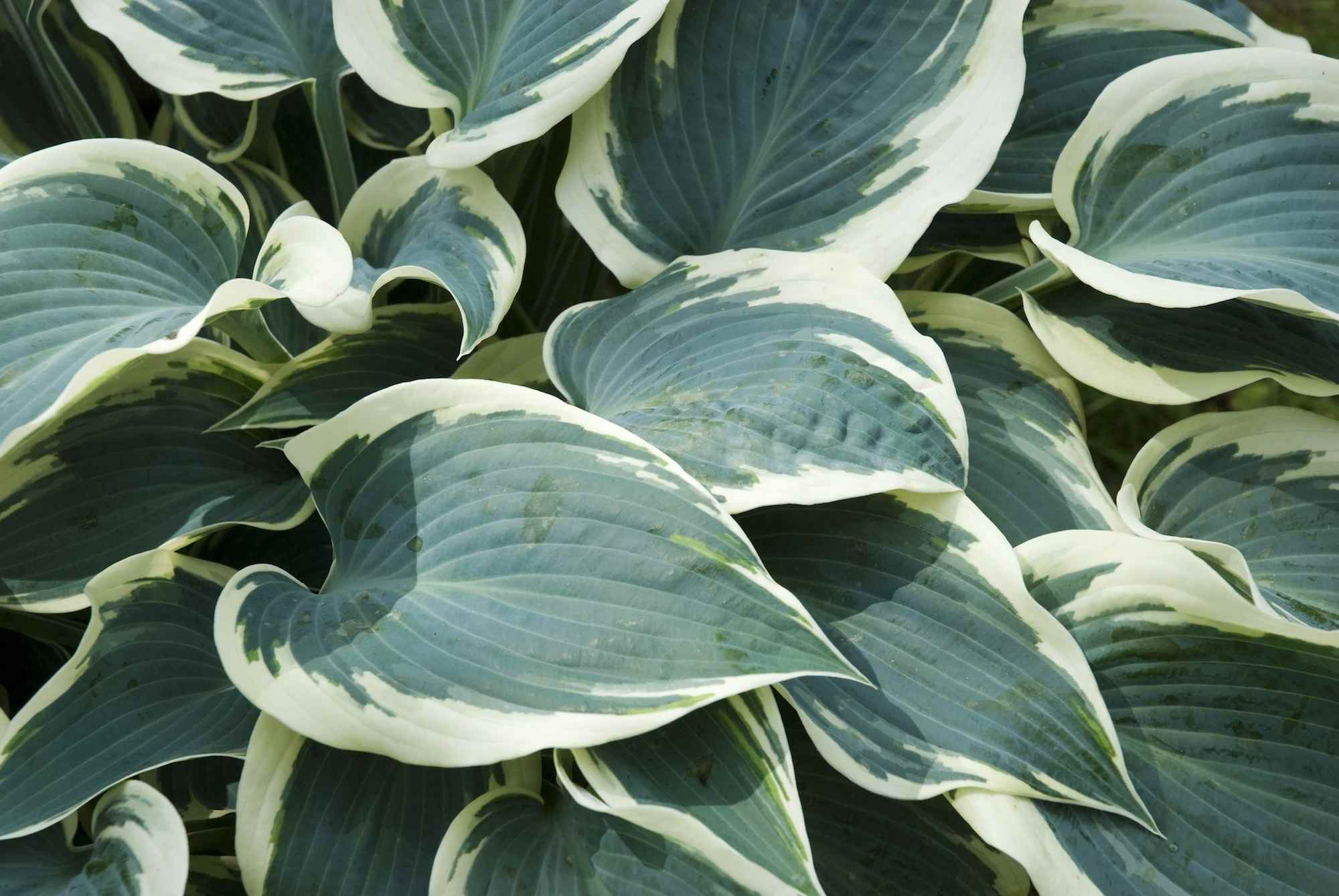 Plantain lily (Hosta) El Nino