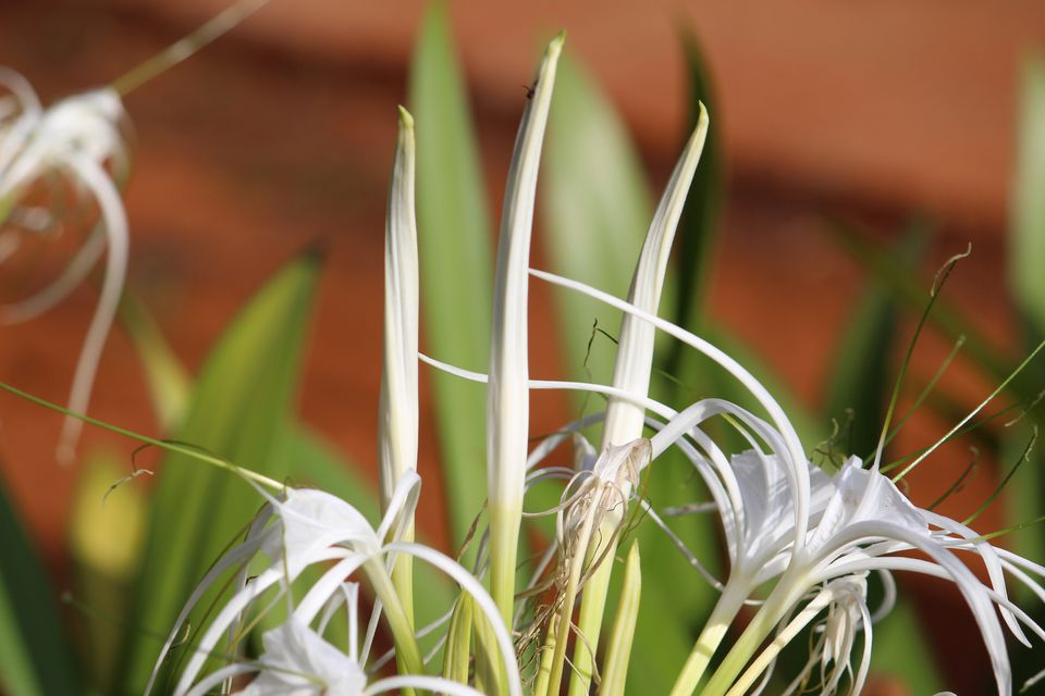 Close-Up Of White Spider Lilies