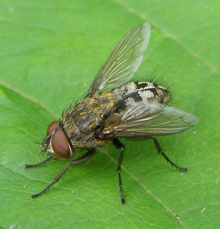 Photo of a cluster fly on a leaf