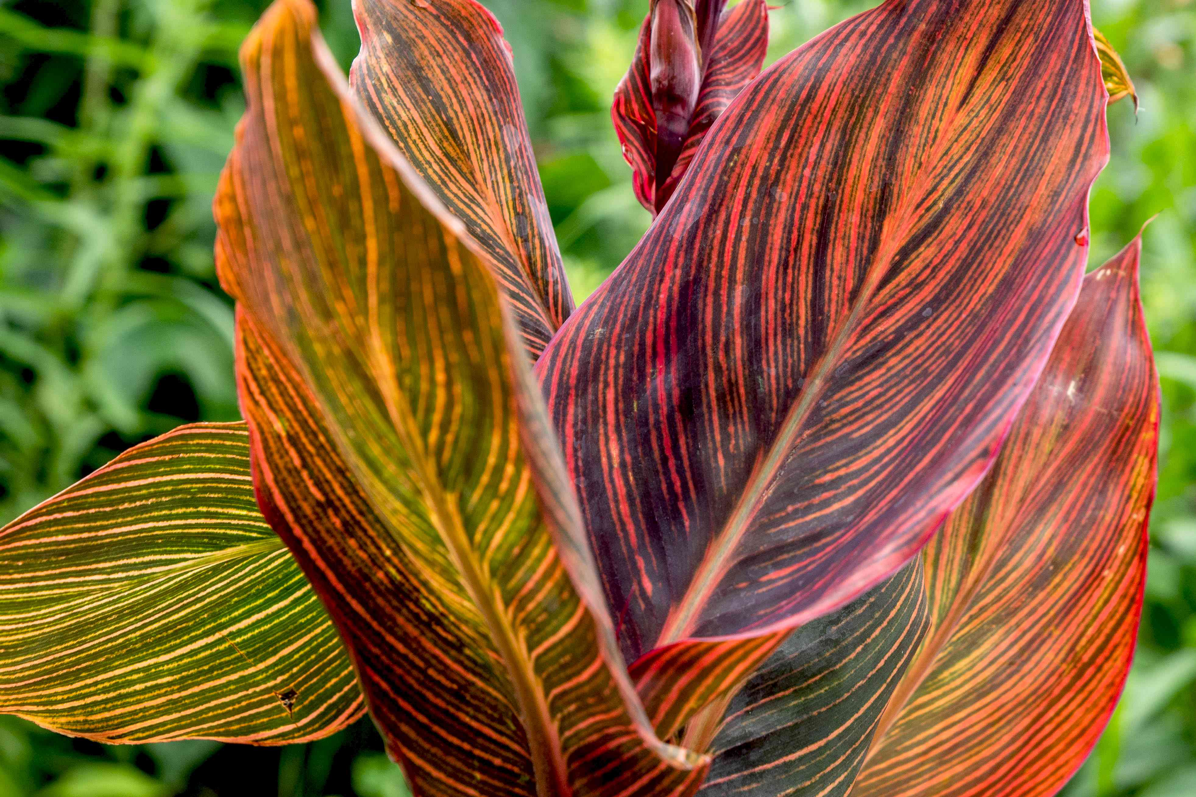 Tropicanna canna plant with red, yellow, orange and green variegated leaves closeup