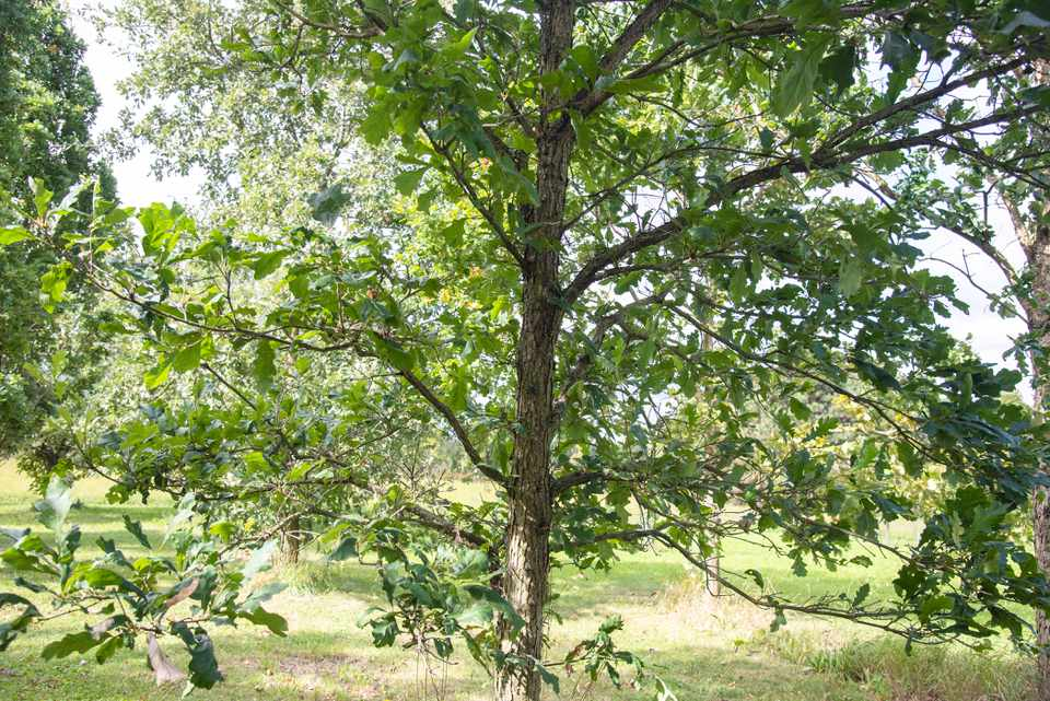 Swamp white oak tree with thin trunk and sprawling branches