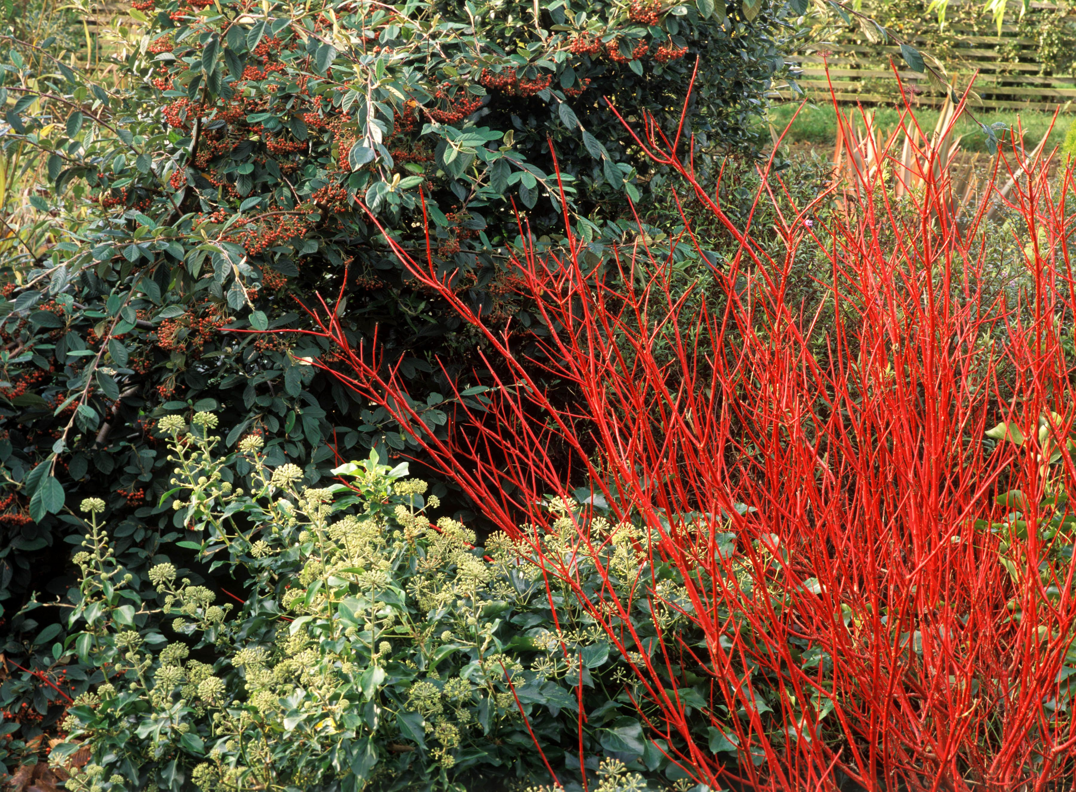 Red-twig dogwood with other plants in background.