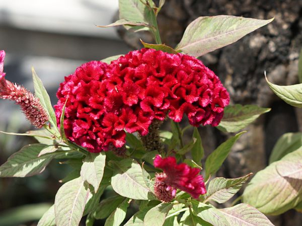 Cockscomb plant with bright red comb-like flowers on stem with lance-like leaves in sunlight