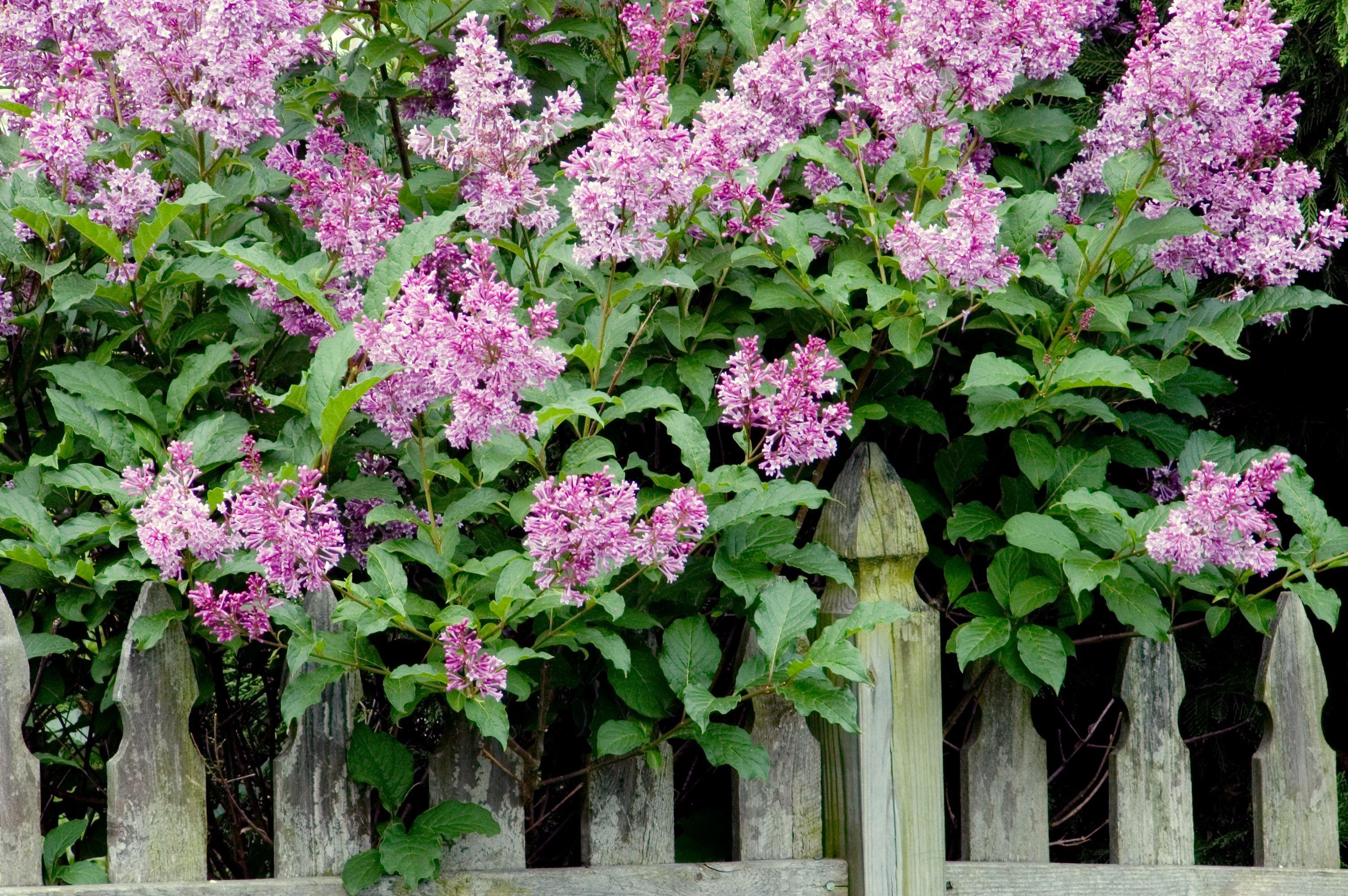 Lilas moradas al lado de una valla
