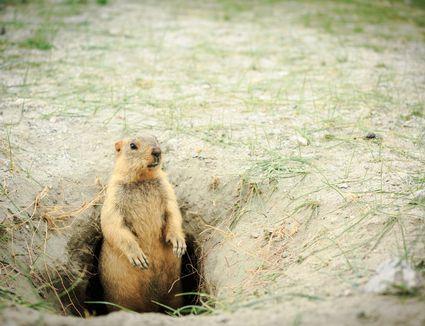 Marmot at hole home.