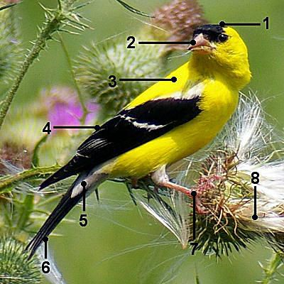 American Goldfinch - Breeding Male