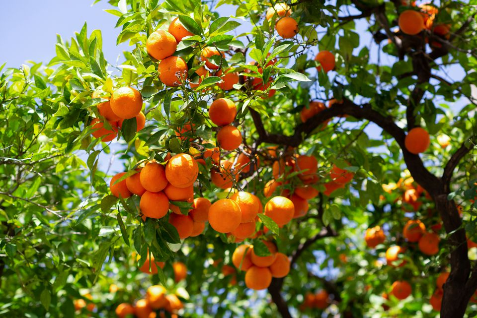 Satsuma tree branch with bright green leaves above cluster of orange round fruit hanging