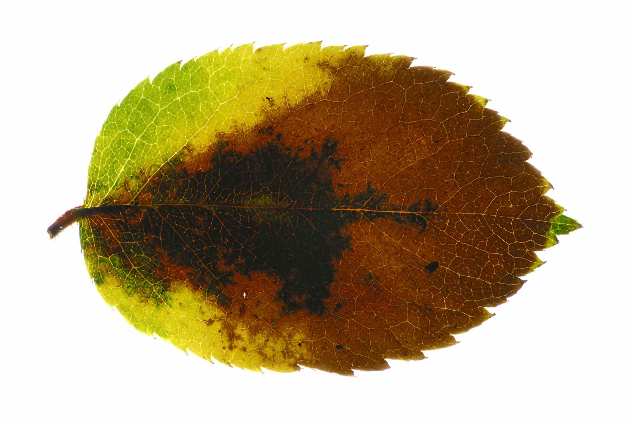 Rose leaf with advanced anthracnose