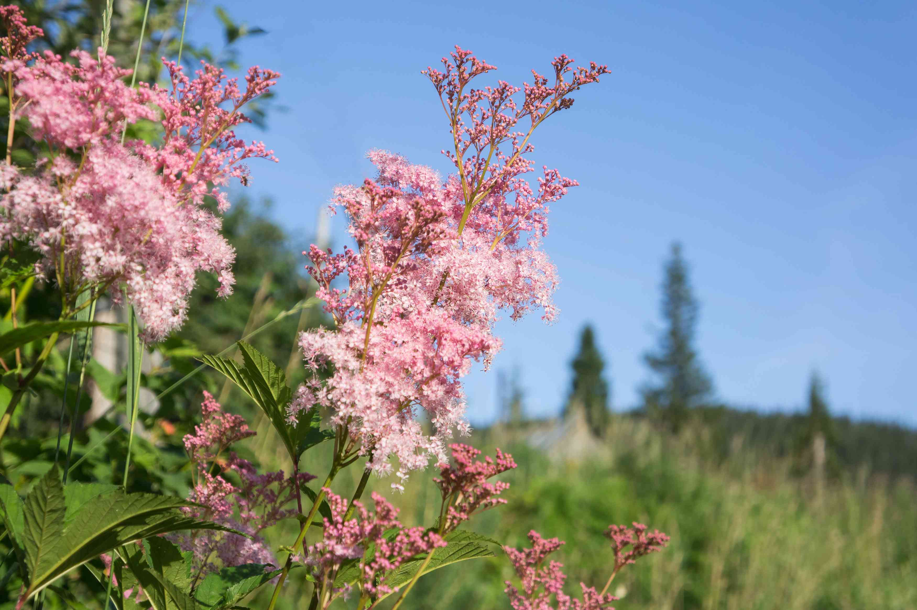 Pink flowers of Rodgersia pinnate bloom against the background of coniferous trees.