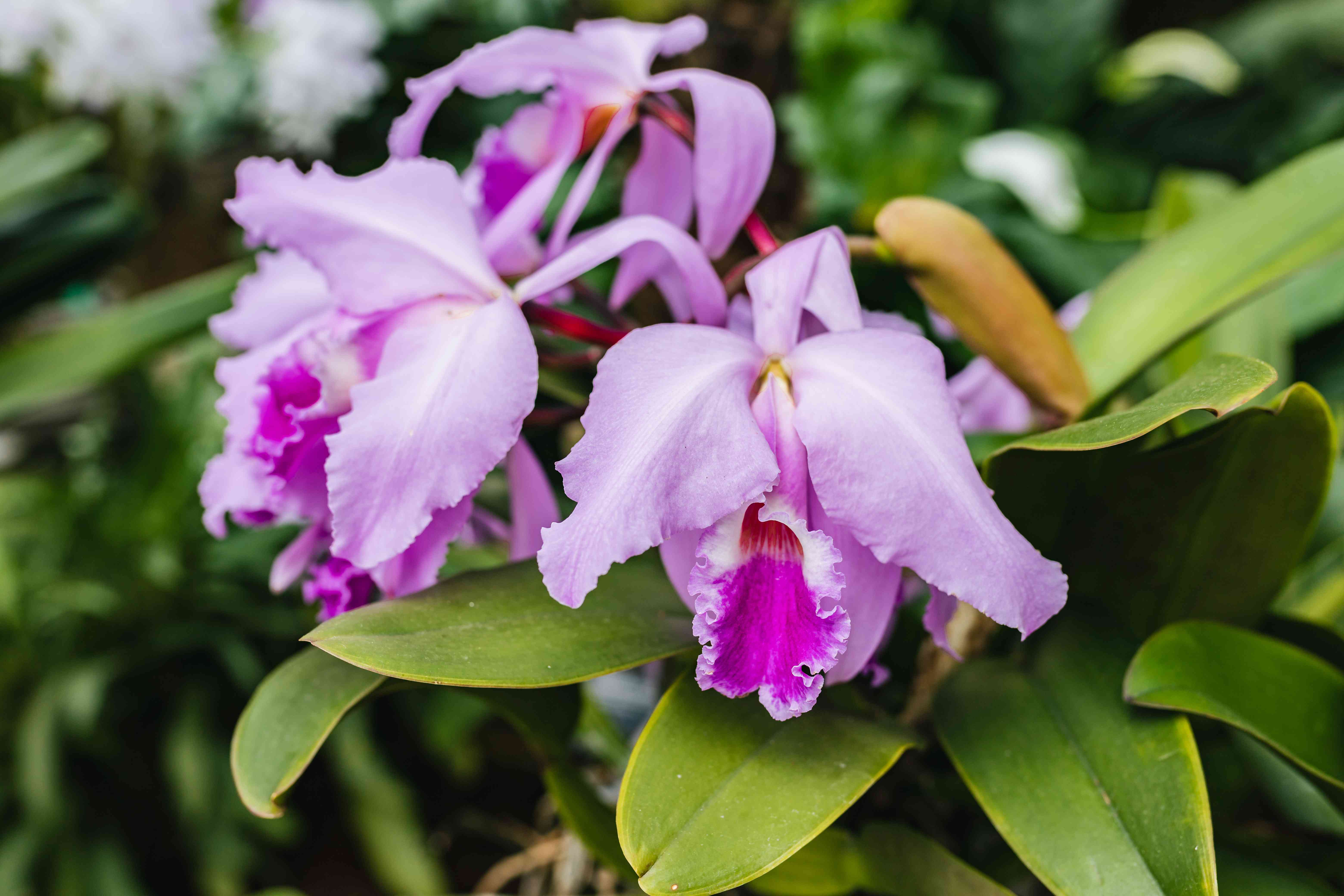 Lavender and deep pink hybrid orchids above long and flat leaves