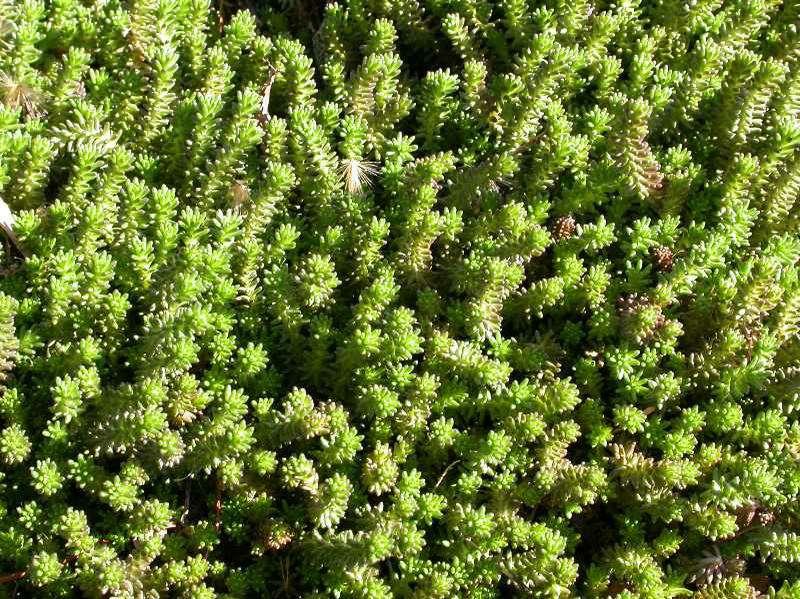 Green 'Murale' sedum