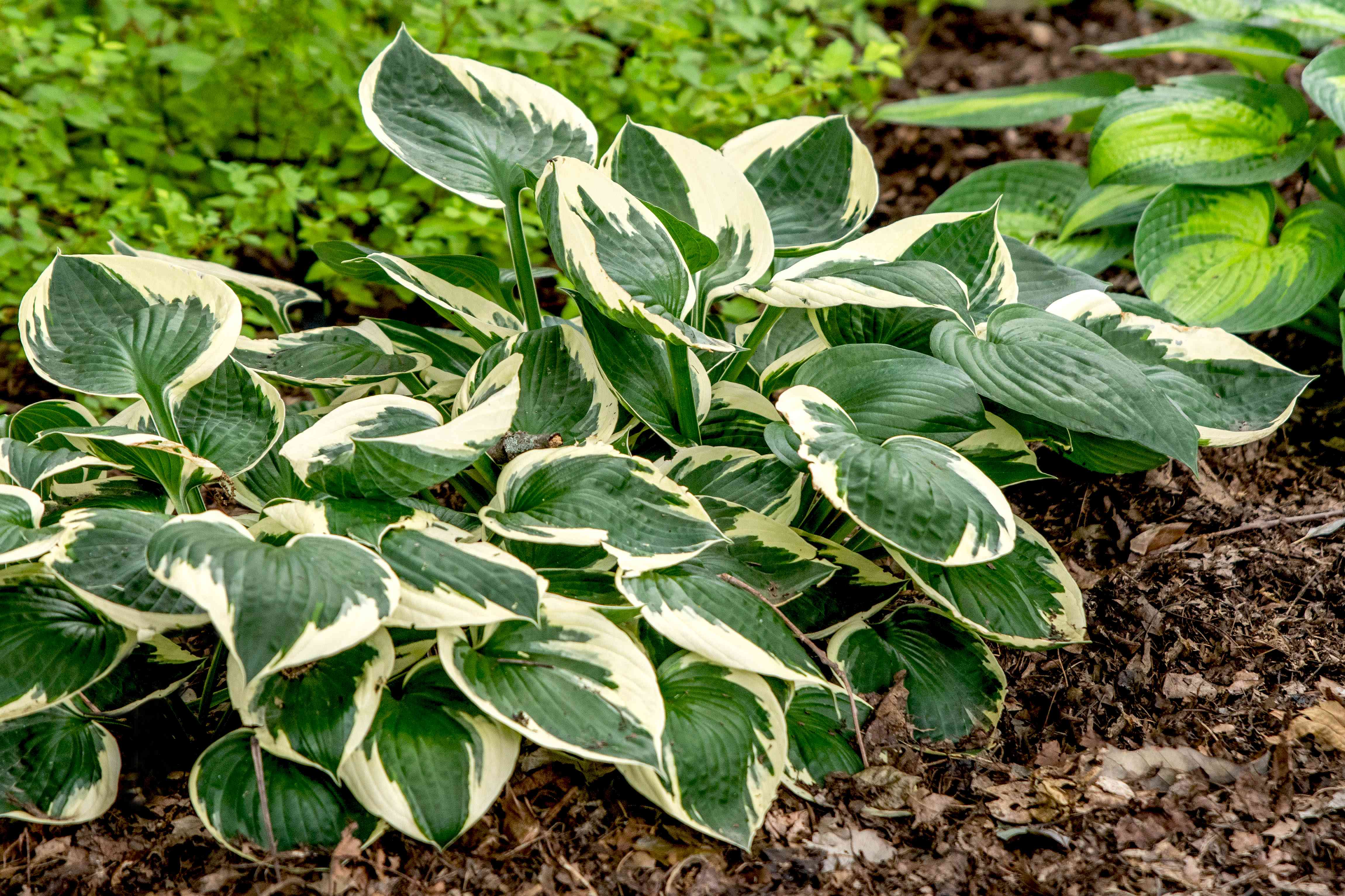 Patriot hosta plant with rounded leaves clumped together with white edges