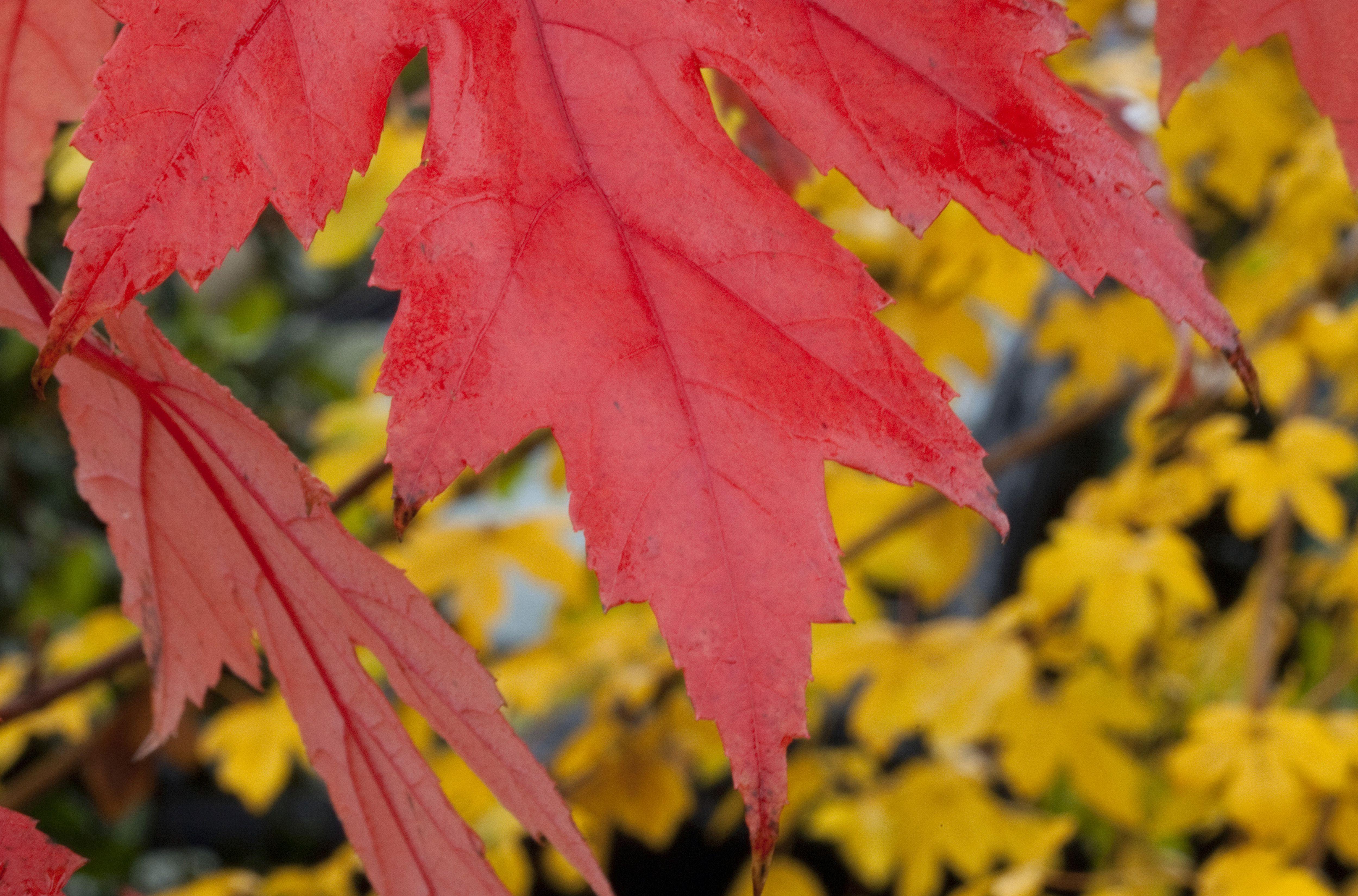 Image of fall foliage color of Autumn Blaze maple tree.