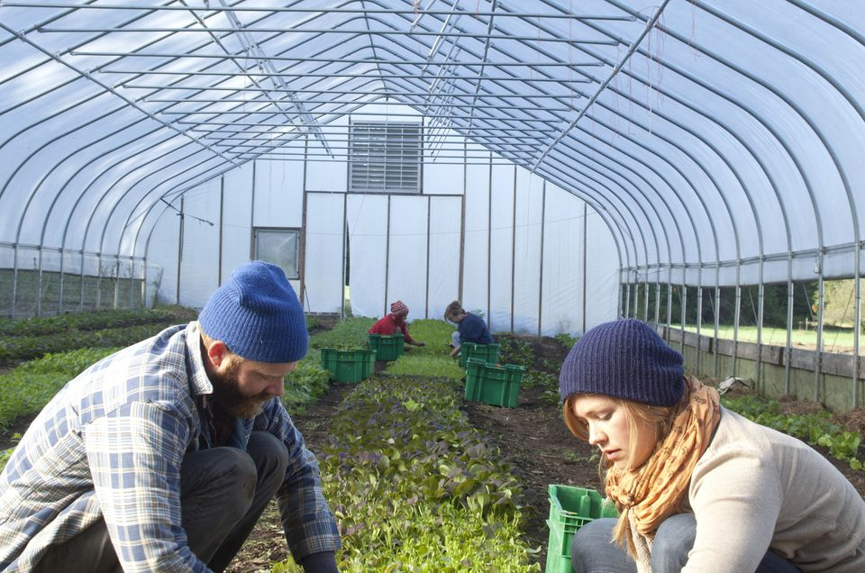 farmers harvesting greens in a high tunnel