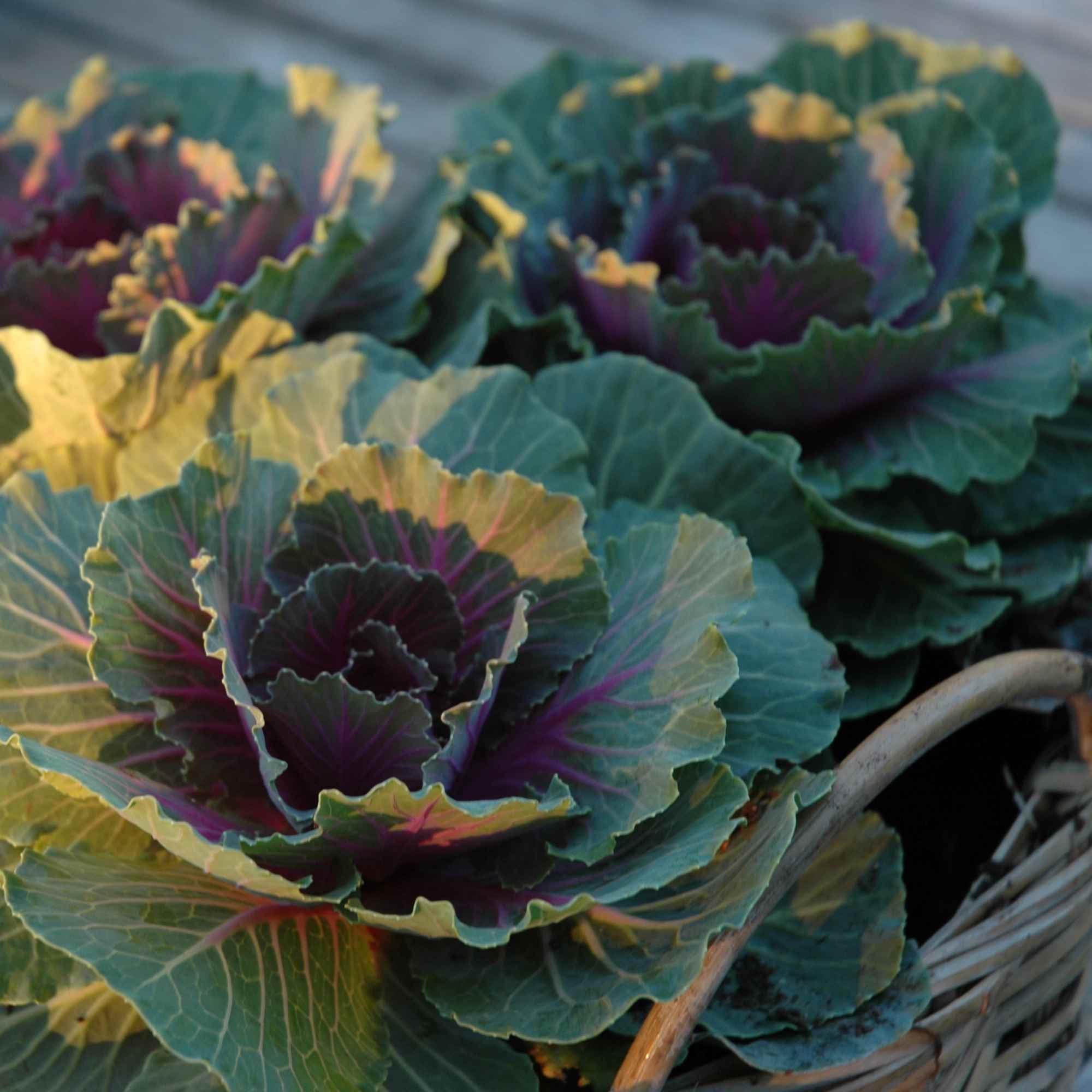 Container garden basket with three flowering cabbage