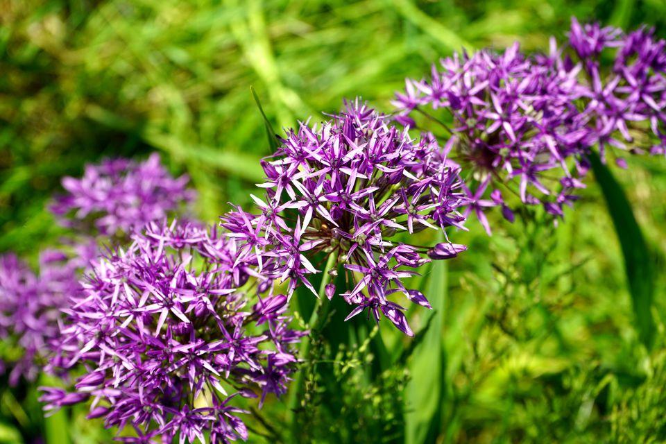 Flores púrpuras en un arbusto bajo
