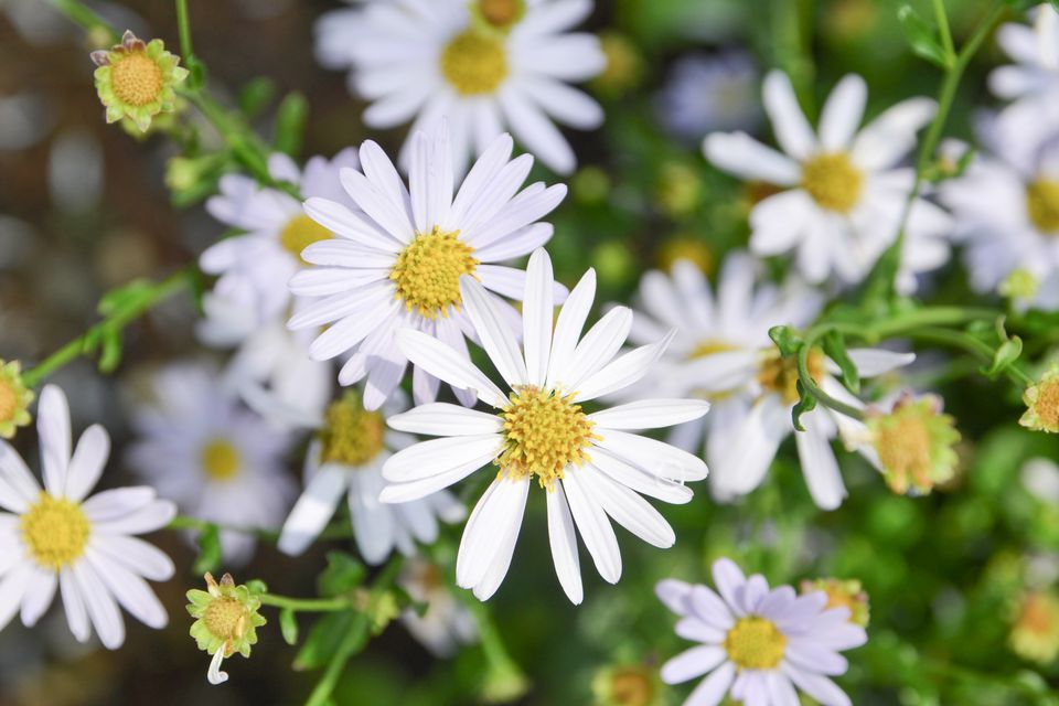 Mexican fleabane flowers with white daisy-like petals closeup