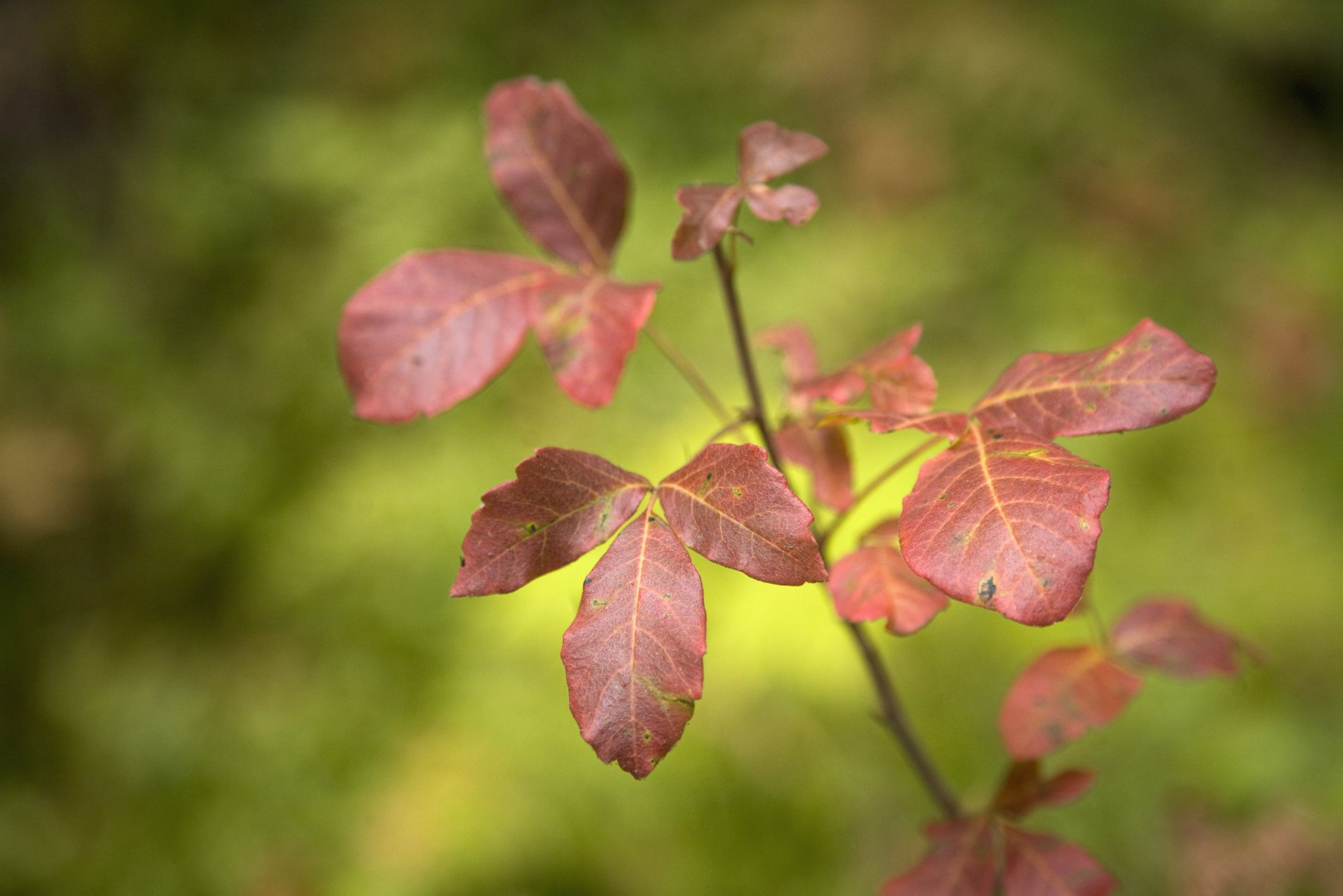 How To Get Rid Of Poison Oak Plants